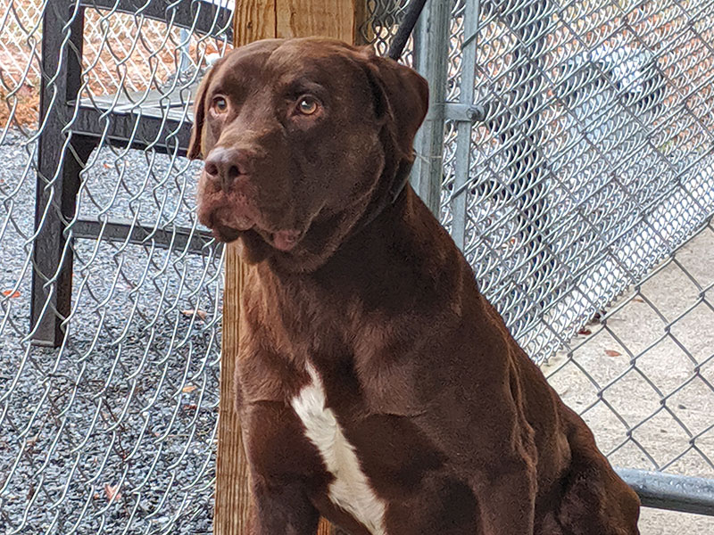This male Chocolate Lab who goes by the name Hershey was dropped off at Animal Control, September 4, with his brother Snickers after their owner passed away. The pair is staying there until claimed by a rescue or adopted. They both have beautiful milk chocolate coats and Hershey sports a white blaze down his chest. View Hershey under Animal Control number 267-19 and Snickers under 268-19.