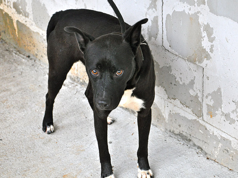 This male Lab mix named Murphy was picked up, or impounded, by Animal Control on Josh Hall Road October 9 and is staying there until reclaimed or adopted. He is medium sized with an intense black coat and bright white markings. He also has beautiful amber eyes. View this cutie pie pup under Animal Control number 088-19.