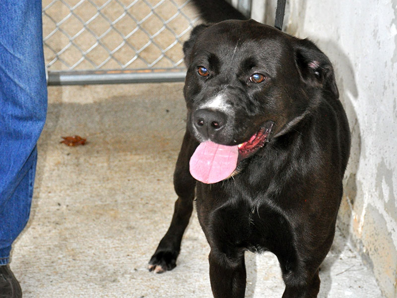 Ricky, a male Black Lab mix, has lived at Fannin County Animal Control since May 4. This energetic guy needs a place to call home once and for all. He was picked up on Knollwood Road and is staying at the facility until claimed by a rescue or adopted. He is pure black except for a splotch of white on his snout. View this manly, handsome dog under Animal Control number 154-19.