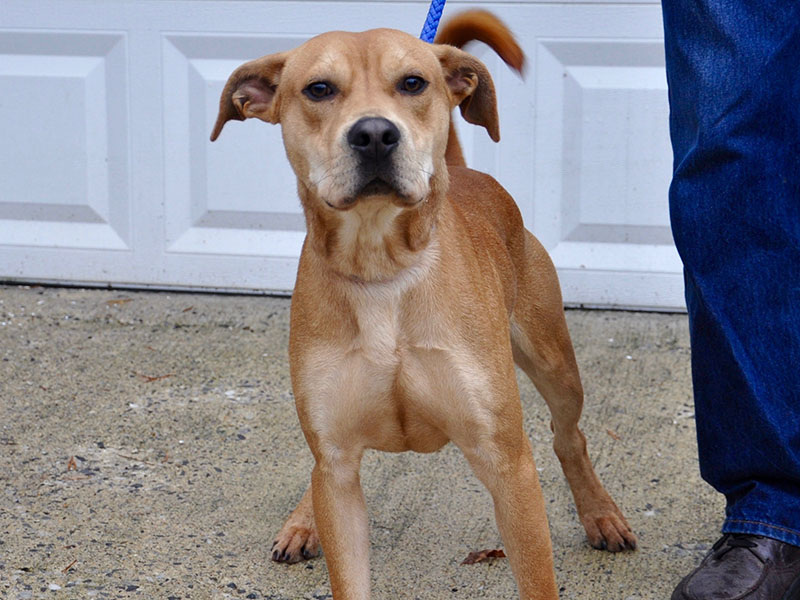 Casey is a male Lab mix who is an owner surrender and will be staying at Animal Control until adopted. He has a golden coat with chocolatey eyes. Casey is very sweet and would make a great play date. View him under Animal Control number 299-19.