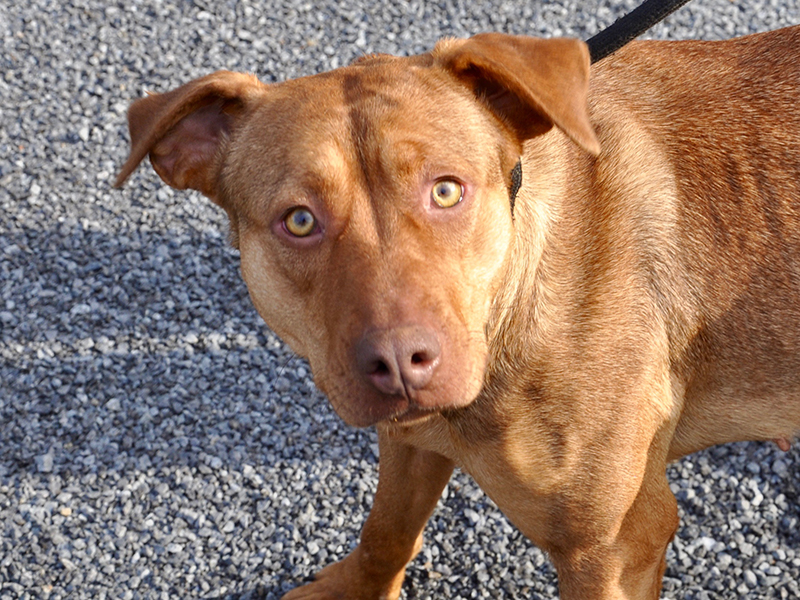 This female mix was picked up on Clay Circle in Morganton March 3 and will be staying at Animal Control until reclaimed or adopted. She has a red coat with marigold eyes and a cute, brown nose. View her under Animal Control number 091-20.