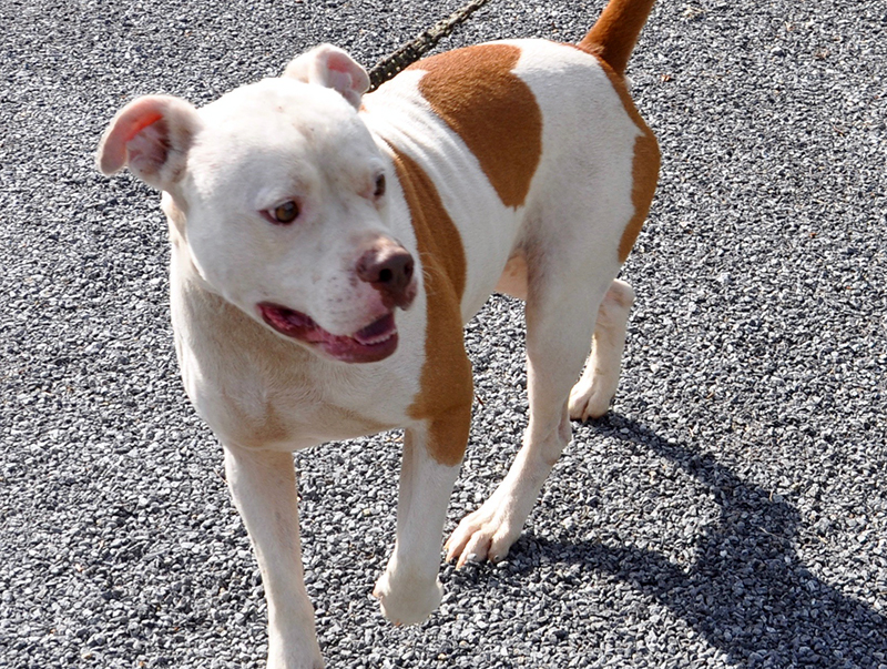 This bulldog mix was picked up July 1 on Fern Drive in Morganton, and he is ready for a forever home. He has a short, white coat with large orange spots. He is a very sweet boy. View him using intake number 188-20.