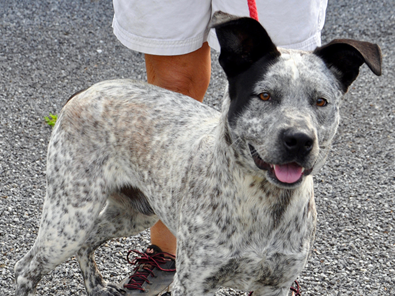 This Blue Heeler was found on Hardscrabble Road in Mineral Bluff June 30. He is ready for a new home! This boy would make a great family member. He has a white coat with black speckles. View him using intake number 187-20.