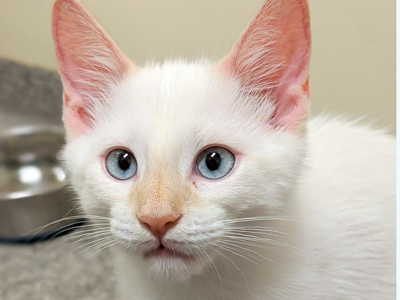 The Humane Society of Blue Ridge cat of the week is Simba. He is a four-month-old Flame Point Siamese mix who is a true delight. He is a bundle of energy and loves to play. Simba is neutered, microchipped and current on his vaccinations. For more information contact the Adoption Center at 706-632-4357 to schedule a time to meet this him.