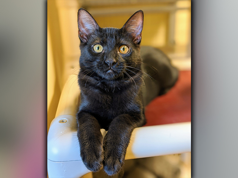 The Humane Society of Blue Ridge cat of the week is Sarabi. She is a five-month-old beauty with tons of energy and an independent streak. Sarabi is good with people and other cats. She is spayed, microchipped and current on her vaccinations. Contact the Adoption Center at 706-632-4357 for more information about Sarabi.